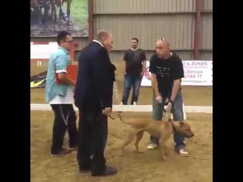 American Pitbull Terrier Dog Show