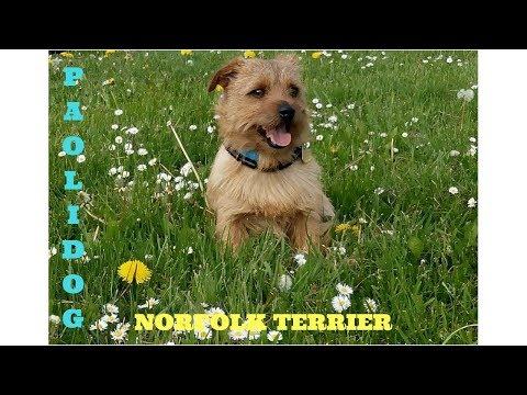 NORFOLK TERRIER   TOP 10 INTERESTING FACTS