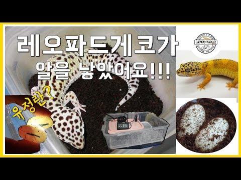 """""""드디어 첫 산란!"""" 레오파드게코 알 관리법을 알려드리겠습니다ㅣHow To Take Care Of The Leopard Gecko Eggs"""