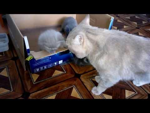 Как котята встречают папу, ОТЦА. Кот говорит привет! Кошки - это чудо! Видео про кошек VivaVideo!