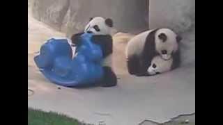 панды на пони. Funny animals, panda on a pony