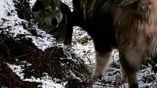 Wolf dogs and caucasian shepard