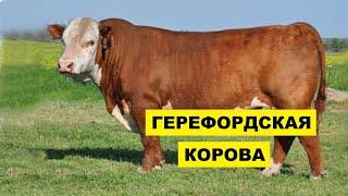 Разведение Герефордской породы коров как бизнес идея   Герефордская корова