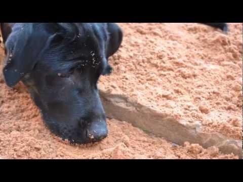 Labrador Preto 八 - De 1 mes a 1 ano de idade.