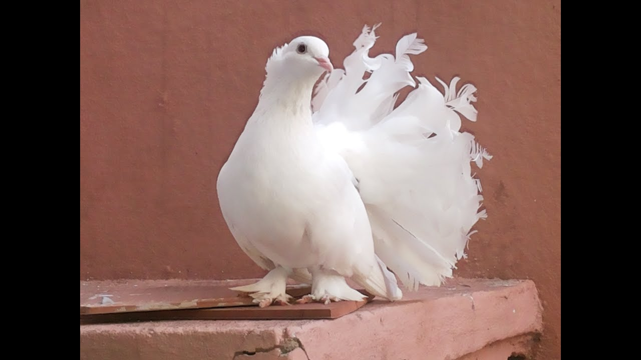 white dove dancing pigeon birds videos youtube