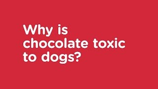 Why is Chocolate Toxic to Dogs? - Vets Now Pet Safety Advice