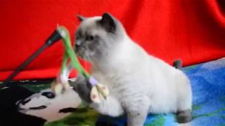Купить шотландского котенка. Котята для Вас: котик-подросток окраса блю-поинт.