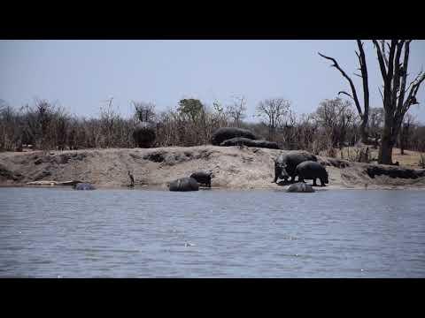 15102017 Hwange NP Hippos outside the water at shumba 2YT