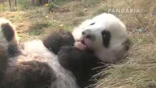 pandapia 20131206-雅二-雅二躺在草地上很有鏡頭感的樣子,旁邊是雅壹 thumbnail