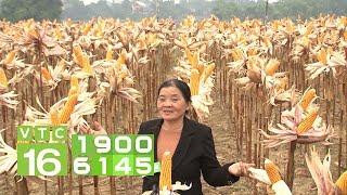 Không thích trồng ngô, Việt Nam chỉ thích đi nhập khẩu | VTC16