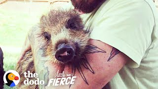 Baby Rescue Boar Transforms After Meeting Her Brother | The Dodo Little But Fierce