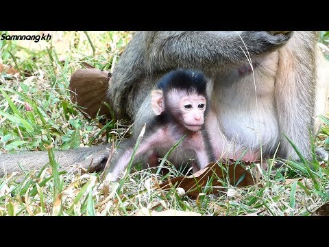 Sweetie, She is perfect baby monkey - Samnnang kh - Dolly, She has a good girl