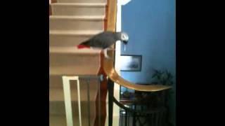 Parrot Slides Down Banister