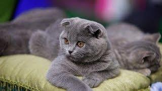 Интересные факты о шотландских вислоухих кошках