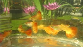 Raising Water Lilies and Guppies in Water Gardens, Tub Size & Setup