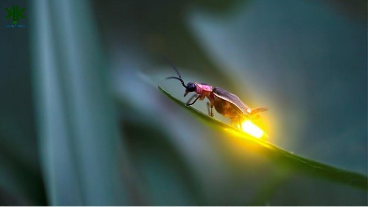 Ateş böcekleri nasıl ışık yayar? 🤔🐛 🔥 (Çocuk Belgeseli) - YouTube