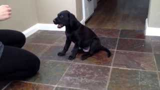 8 Week Old Lab Pup Training Session. Practising Sit, Down, Turn, Give Paw, High Five.
