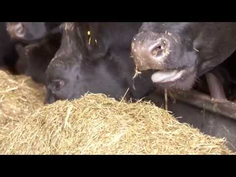 Beef cattle Finishing advice from Martin Ryan