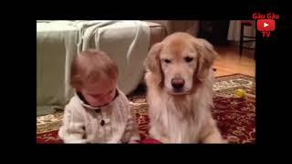 """Chó """"gâu đần"""" hài hước và dễ thương   Funny and Cute Golden Retrieve Video #1"""