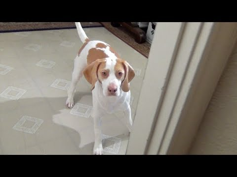 Cute Dog Plays Hide & Seek: Cute dog Maymo