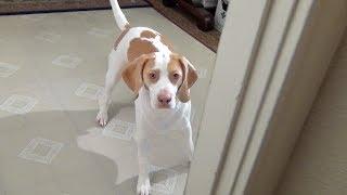 Cute Dog Plays Hide & Seek: Cute dog Maymo