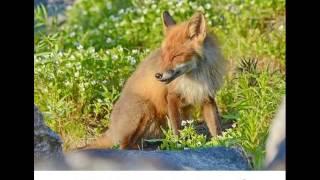 Yilvis The Fox перевод на русский