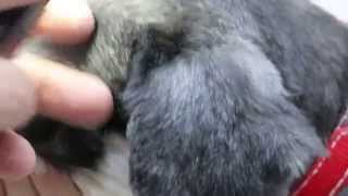A Miniature Schnauzer Has Scleral Congestion