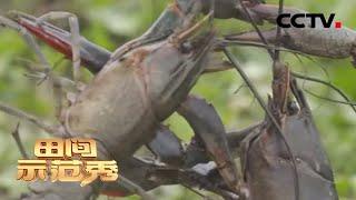 《田间示范秀》 20200331 蓝色龙虾搬家记|CCTV农业