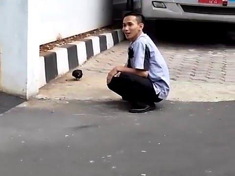 cara menangkap burung dara lucu... :D - YouTube