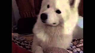 安久想上床但是没洗脚1宠物萨摩耶.