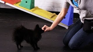 How To Teach A Pomeranian Tricks | Dog Tricks