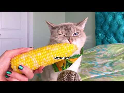 Jared - VIDEO: Here's What it Sounds Like for a Cat to Eat Corn on the Cob