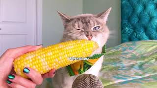 ASMR - CAT EATS CORN