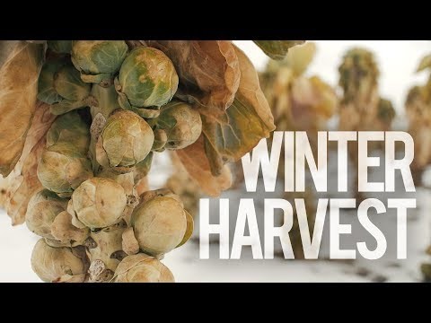 Brussels Sprouts Winter Harvest