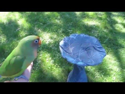 Nana my lovebird (042) Free flying outside
