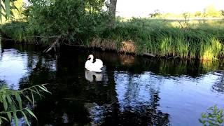 Swan child or swan the bird