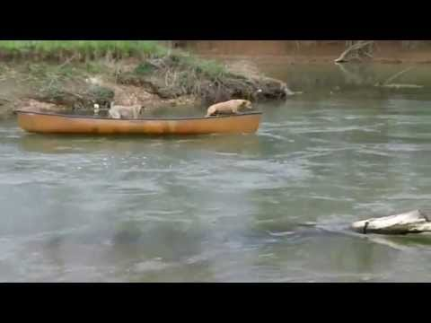 Smart Dog Saves Its Buddies That Are Trapped in a Canoe