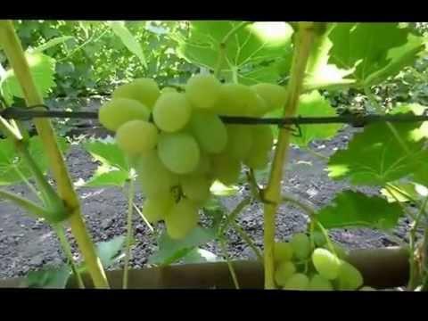 Сорт винограда Августин/