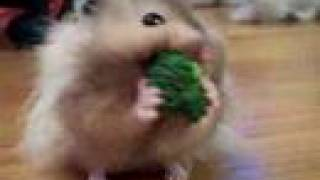 Teddy Bear Long Haired Hamster Stuffing Broccoli