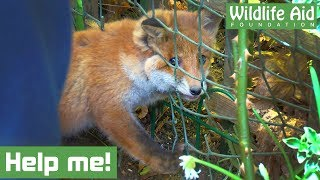 Tiny baby fox gets head TRAPPED in a fence!