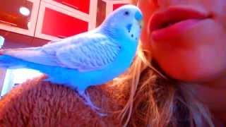 Говорящий попугай - обучение разговору