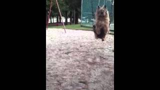 Cairn Terrier In A Swing