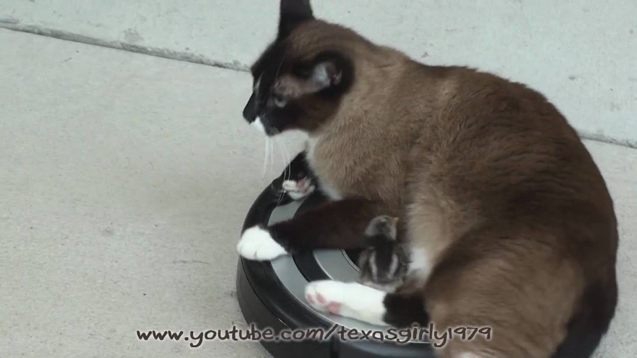 Roomba Drivers Cat Vs Baby Chick Snowshoe Siamese Mix