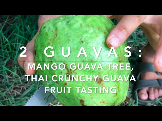 2 guavas: Guava mango tree flushing, Thai crunchy white guava tasting - HUGE FRUIT! 😻