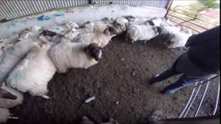 loading sheep into trailer