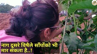 || पर्यावरणमें ऐसी वारदातेभी होती है || sometimes a venomous snake kills other || Video by Prashanth