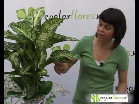 Cuidado de la planta diefembaquia flores y plantas youtube - Plantas de interior con flor ...