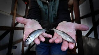 VIRUS CANCELS SMELT RUN:  ...but has anyone told the smelts?