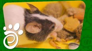 Японская Декоративная Мышь (Часть Вторая). Все О Домашних Животных