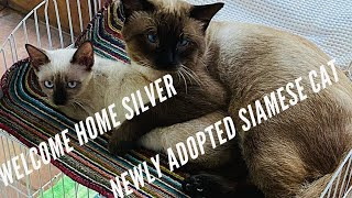 Finally Chester is not alone || We have adopted another Siamese Cat